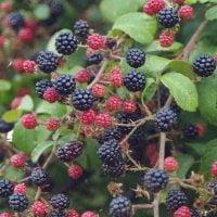 blackberries growing on the bush
