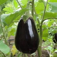 eggplant growing on vine