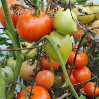 tomatoes growing on the vine at different ripeness